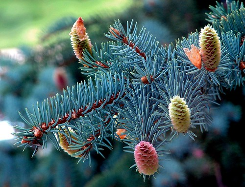 New Coniferous Growth