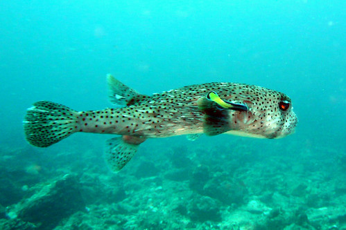 Porcupinefish at Similan Islands