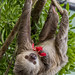 Hoffmann's two-toed sloth Gamboa Wildlife Rescue pandemonio 2017 - 24