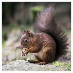 Yorkshire Dales Red Squirrel (Digital Wanderings) Tags: redsquirrel squirrel yorkshiredales nut feeding eating snaixeholme d5300