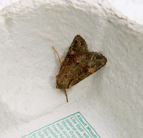 Moth - ID advice welcome