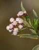mulefat - baccharis salicifolia
