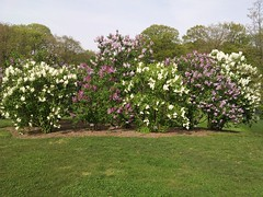 Variety Pack (andyXchrist) Tags: nature spring outdoor bronx lilac flowering nybg zn5
