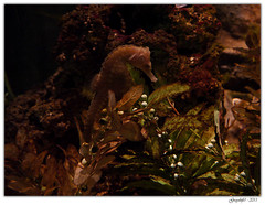 Cheval Marin (Greyshift11) Tags: life sea mer france lumix dragon nemo clown panasonic bleu g1 mm 45mm dory dmc geant poissons 1445 200mm crabe 14mm murene crabzilla hippocampe chirurgien hippocampes dmcg1