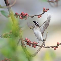 #706  Proud Bird! (John&Fish) Tags: bird nature birds wow photography taiwan best 2011 theenchantedcarousel