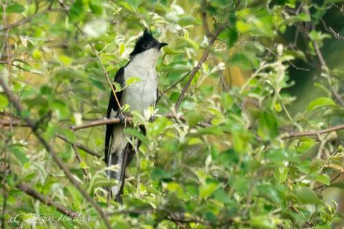 Jacobin Cuckoo, Pied Cuckoo, or Pied Crested Cuckoo