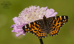 The Map - Araschnia levana - spring form (Pete Withers) Tags: butterfly map form araschnialevana themap springform europeanmap araschnia levanaspring