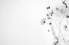 ...she said no title needed (jam343) Tags: flowers autumn bw fall monochrome cosmos  diamondclassphotographer