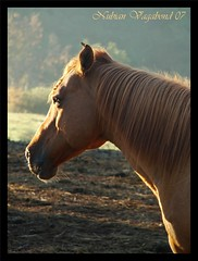 Morning glow (_AcL_) Tags: horse brown beautiful mare 2007 mamals equuscaballus morningsunlight photographicdesign 1234sw marvelousphotoaward