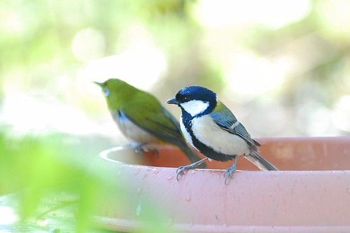 Great tit after bathing by kaycatt*