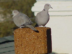 Two Turtle Doves 1