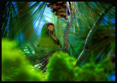 At home in the pines (caprimulgiformes) Tags: color nature birds vivid parrots smrgsbord blueribbonwinner impressedbeauty aplusphoto goldstaraward