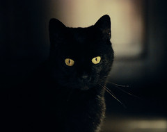 Felis Tenebricus (e.v.r.i.e.l) Tags: portrait black eye face animal cat dark chat animalplanet matou felis flin faune tenebrae bestofcats tenebricus