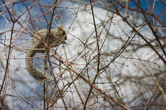cureuil (ghusse_blog) Tags: canada squirrel montral qubec cureuil cureuil