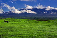 Out Standing In His Field (Bill Adams) Tags: horse field hawaii explore getty waimea bigisland canonef2470mmf28lusm maunakea kamuela naturesfinest abigfave ysplix thatsclassy
