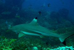 Black Tip Shark (Al Hawat) Tags: ocean sea fish water underwater diving colourful reef