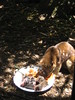 Quoll eating lunch