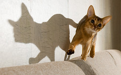 Flibberty and Her Shadow (peter_hasselbom) Tags: shadow cats cat play flash usual abyssinian hunt ruddy cc100 cc1000 abigfave cat1000 bestofcats boc0208 thecatwhoturnedonandoff