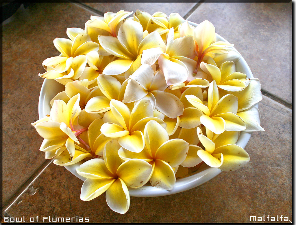 Bowl Of Plumerias- Big Island Of Hawaii by Malfalfa