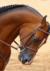 Half-Arabian/Half-Anglo Horse (Magda Rees) Tags: horse brown black animal animals head bow arabian arabianhorse stallion mane anawesomeshot clevercreativecaptures anglohorse