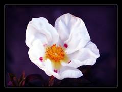 Lower leas a flower (bonksie61) Tags: white flower soe smörgåsbord digitalcameraclub mywinners avision superbmasterpiece almostanything theperfectphotographe wonderfulworldofflowers