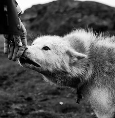 A sled dog in Tasiilaq, Greenland. (Andri Thorstensen) Tags: blackandwhite bw dog chess greenland sleddog tasiilaq hrkurinn grnland friendlygrnlandhrkurinn