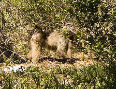 The big man (LP365) Tags: africa southafrica hiking capetown cape baboon capepoint fynbos glencairn baboonmatters
