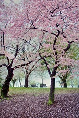 Gifts (CATeyes) Tags: mist washingtondc dc spring blossoms gifts benches cherrytrees cherryblossomfestival elizabethbarrettbrowning xoxoxoxo mywinners