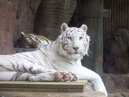 deformed white tiger pictures. Even though the white tiger is