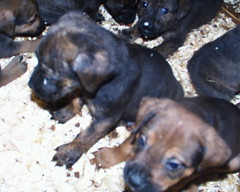 Doc (Left) (muslovedogs) Tags: dogs puppy mastweiler