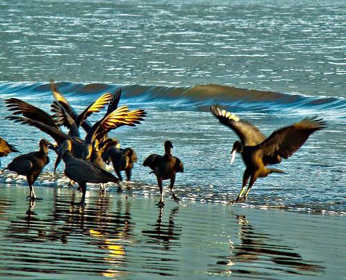 Desjejum dos Black Vulture, vulgo, Urubú, ao nascer do sol - Sunrise in the Perequê Beach – Guarujá Island - São Paulo – Brazil