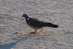 Shadow (skippi1234) Tags: bird pigeon oiseau vogel duif