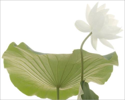 Lotus Flower / white / Green / Leaf / - IMGP6256 - , ????, ??, ?? ?????, Fleur de Lotus, Lotosblume, ????, ?? by Bahman Farzad