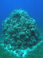 Pináculo de coral / coral pinnacle (copepodo) Tags: coral fauna redsea diving jordan reef aqaba pinnacle buceo jordania arrecife submarinismo marrojo pinaculo