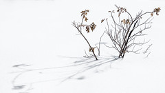 Thorny, Yet Graceful (Astroredg) Tags: winter hiver bush buisson shadow ombre minimalist minimaliste highkey thorny graceful épineux gracieux elegant boscage bosquet brushwood snow neige snowy spiky photographia zen serene serein peaceful paisible plant plante shrub arbustre enneigé rosier rose rosebush surviving survivant enduring perverserance perdure subsisting linger her