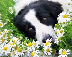 The Collie Flower Bed (meg price) Tags: dog pet collie sheepdog border bordercollie barney blueribbonwinner abigfave theunforgettablepictures platinumheartaward thesuperbmasterpiece magicunicornverybest