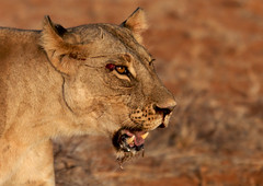 Wounded lion - Kenya (Eric Lafforgue) Tags: africa game animal blood kenya head wounded lion culture tribal safari tribes afrika tradition tribe ethnic tribo afrique ethnology tribu eastafrica blesse 1655 qunia lafforgue ethnie  qunia    kea    a