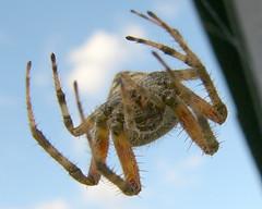 Barn Spider-upside down