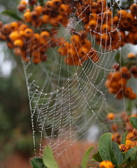 Spiders Web and Orange Berries (torimages) Tags: sd spidersweb allrightsreserved orangeberries donotusewithoutwrittenconsent copyrighttorimages