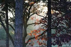 Morning Light (Catznbirdz) Tags: trees light sun mist fall nature luce autunnoalberi