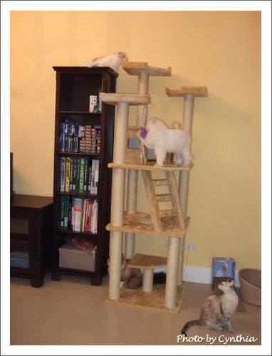 3隻貓出現在貓跳台上
