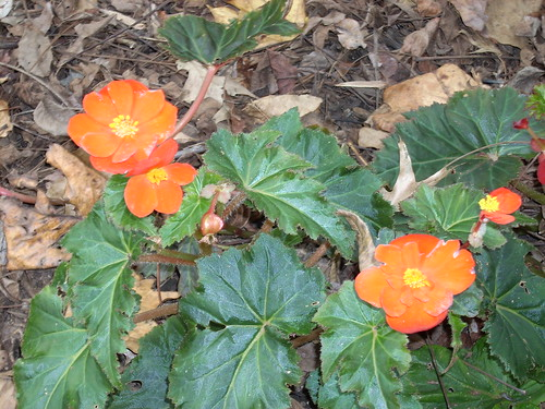 Fall flowers (begonias?)