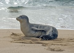 Monk Seal pup (rob.rudloff) Tags: hawaii seal kauai seals monkseal
