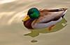 Mallard (Cal Bear 94) Tags: sanfrancisco california lake reflection nature wet duck pond mallard avian blueandgreen avianexcellence diamondclassphotographer