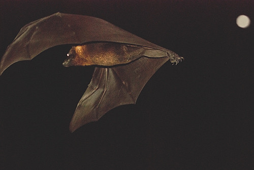 Flying fox in flight
