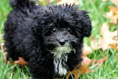 (mightyquinninwky) Tags: dog white black puppy pod award poodle 100views bubba 300views pow invite animalcloseups 1on1pets twtme seenability nomore1word ~eyes~ hairtasticcatsanddogs diamondstars 1on1petsphotooftheweek fluffypuffy bubbawilder 1on1petsphotooftheweekdecember2007 ilovemypics jasonpresser 1on12on2powpodfp flickrpopluarphotographer 11223344556677 bestofformyspacestation