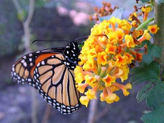 Wonderful Nature ( Graa Vargas ) Tags: flower nature butterfly help monarch lantana lantanacamara danausplexippus monarca graavargas 2007graavargasallrightsreserved 76612160313