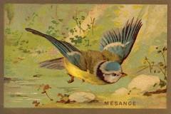 mesange