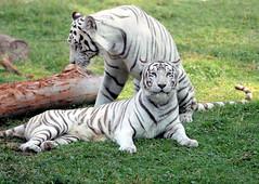 Tigre Blanco IMG_1879 (kjdrill) Tags: cats white blanco animal cat mexico zoo stripes tiger guadalajara bigcat rare bengal tigre exoticcats endangeredspecies zoological zoologico ziegfriedandroy