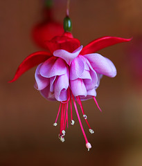 Ballerina (janruss) Tags: flower floral bravo quality fuchsia explore defenders excellence themoulinrouge naturesfinest flowerotica passionphotography fantasticflower abigfave goldmedalwinner platinumphoto colorphotoaward flickrplatinum goldenphotographer diamondclassphotographer flickrdiamond citrit ysplix theperfectphotographer superperfectphotographer thegardenofzen happinessconservancy thegoldendreams goldstaraward photosexplore world100f 4mazingorgeoushotsoflowers platinumsuperstar wonderfulworldofflowers 100commentgroup amazingmacros colorphotoawardbronze colorphotoawardsilver superamazingmacrosaward colorphotoawardgold janruss janinerussell newgoldenseal